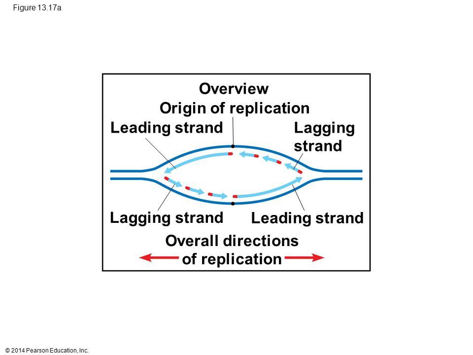 © 2014 Pearson Education, Inc. Figure 13.17a Origin of replication Lagging strand Lagging strand Overall directions of replication Leading strand Over