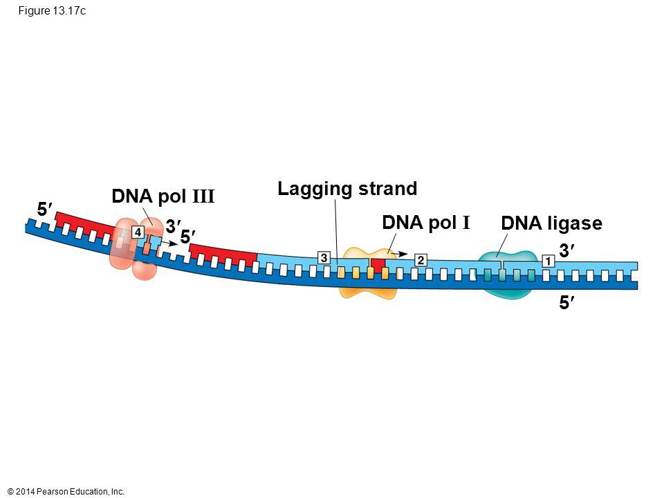 © 2014 Pearson Education, Inc. Figure 13.17c 5 5 3 5 3 Lagging strand DNA ligaseDNA pol I DNA pol III