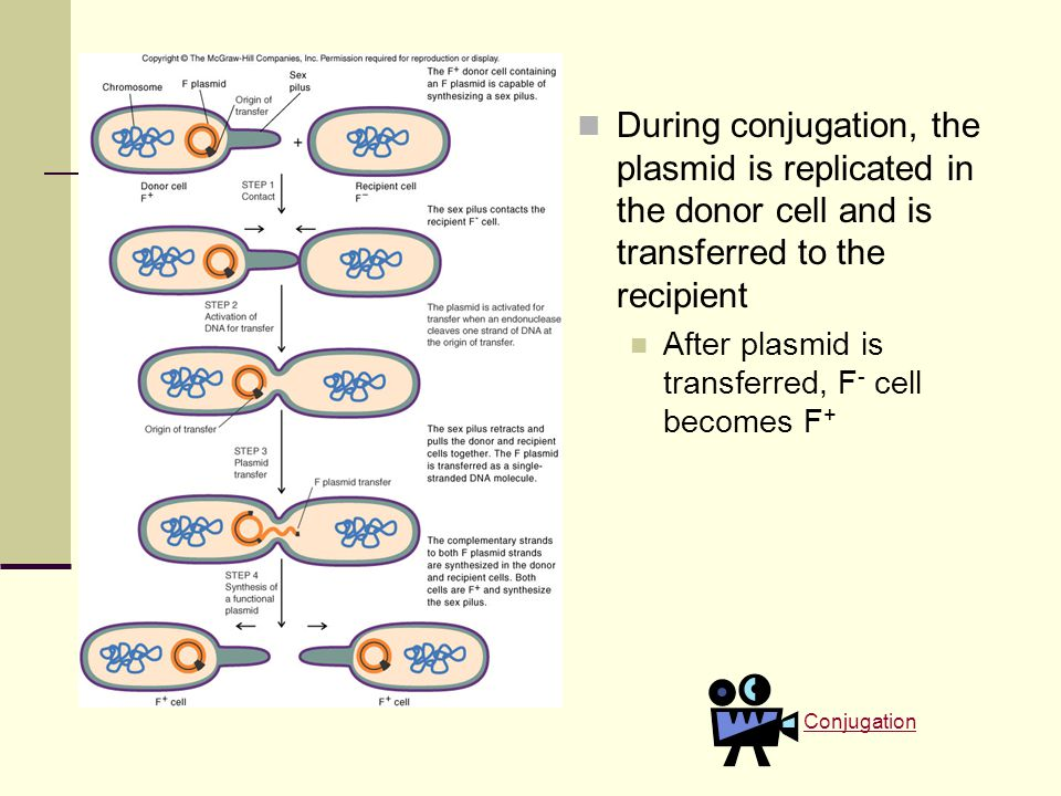 During conjugation, the plasmid is replicated in the donor cell and is transferred to the recipient After plasmid is transferred, F - cell becomes F + Conjugation