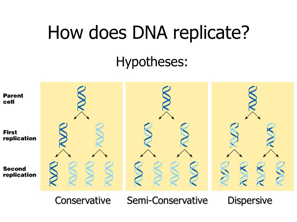 How does DNA replicate? Hypotheses: ConservativeSemi-ConservativeDispersive