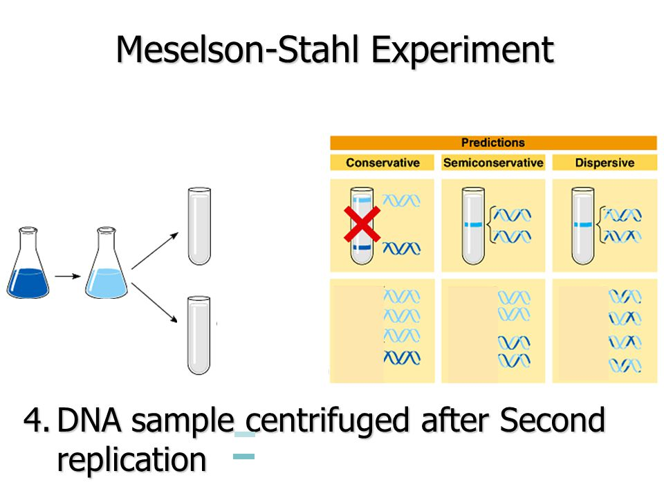 Meselson-Stahl Experiment 4.DNA sample centrifuged after Second replication