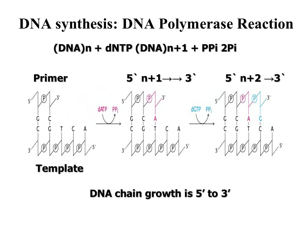 DNA synthesis: DNA Polymerase Reaction (DNA)n + dNTP (DNA)n+1 + PPi 2Pi Primer 5` n+1 →→ 3` 5` n+2 → 3` Template DNA chain growth is 5' to 3'