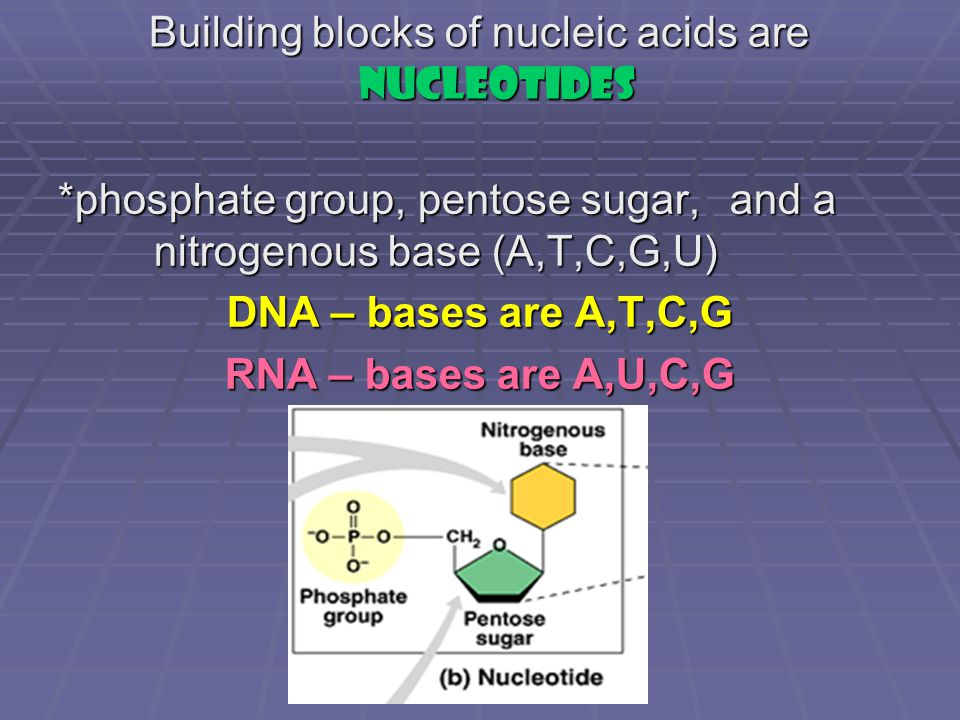 Building blocks of nucleic acids are nucleotides *phosphate group, pentose sugar, and a nitrogenous base (A,T,C,G,U) DNA – bases are A,T,C,G RNA – bases are A,U,C,G