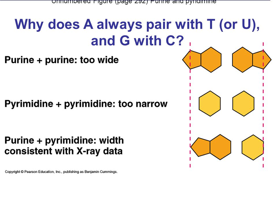 Unnumbered Figure (page 292) Purine and pyridimine Why does A always pair with T (or U), and G with C