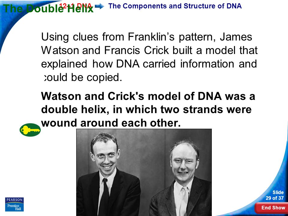 End Show 12–1 DNA Slide 29 of 37 Copyright Pearson Prentice Hall The Components and Structure of DNA The Double Helix Using clues from Franklin's patt