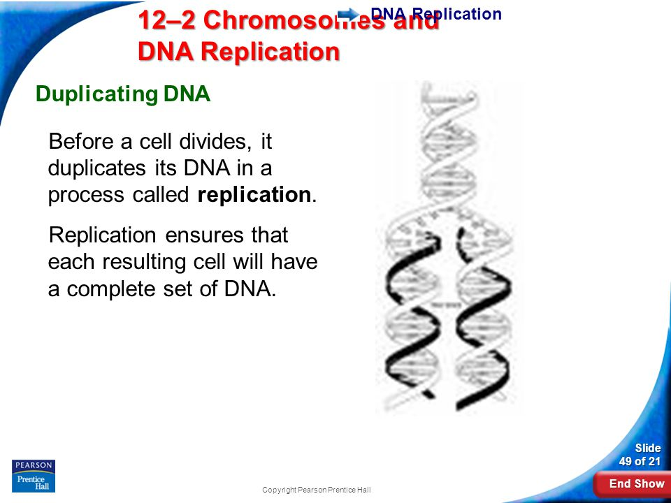 End Show 12–2 Chromosomes and DNA Replication Slide 49 of 21 DNA Replication Duplicating DNA Before a cell divides, it duplicates its DNA in a process