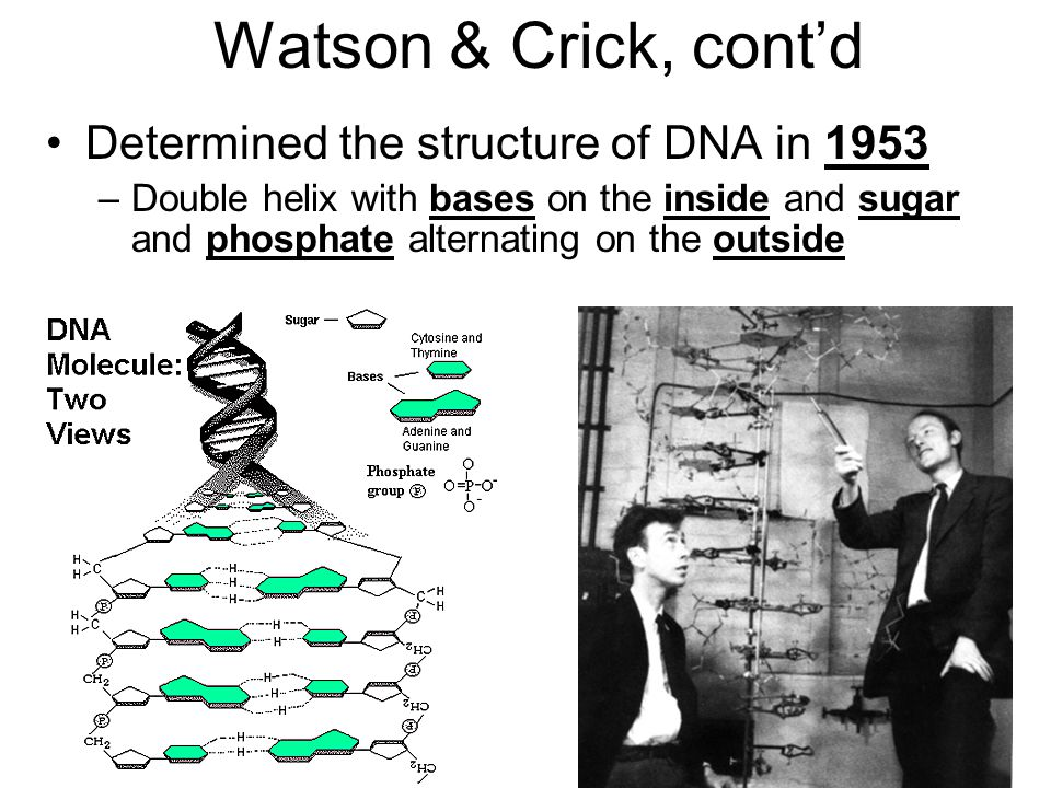 Watson & Crick, cont'd Determined the structure of DNA in 1953 –Double helix with bases on the inside and sugar and phosphate alternating on the outsi