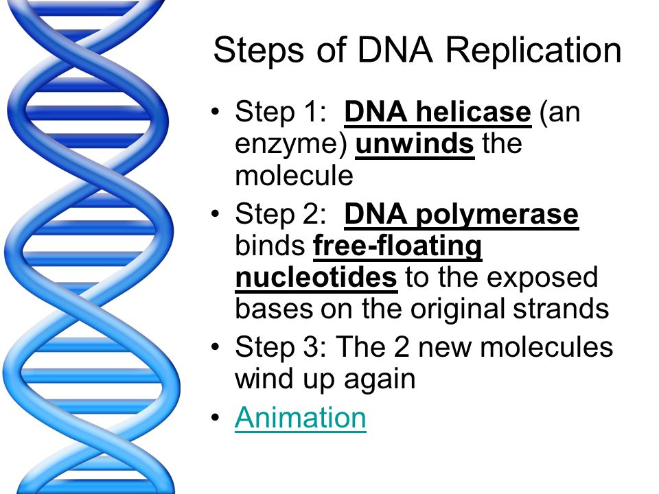 Steps of DNA Replication Step 1: DNA helicase (an enzyme) unwinds the molecule Step 2: DNA polymerase binds free-floating nucleotides to the exposed b
