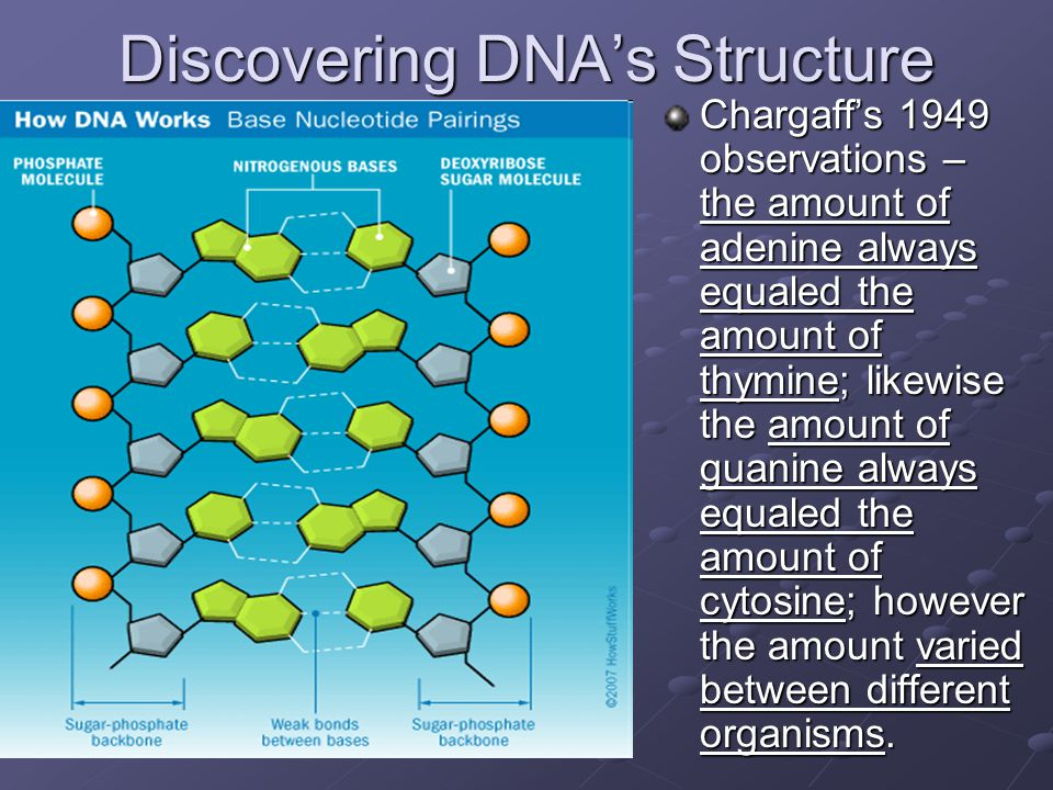 Discovering DNA's Structure Chargaff's 1949 observations – the amount of adenine always equaled the amount of thymine; likewise the amount of guanine always equaled the amount of cytosine; however the amount varied between different organisms.