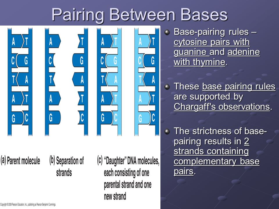 Pairing Between Bases Base-pairing rules – cytosine pairs with guanine and adenine with thymine.