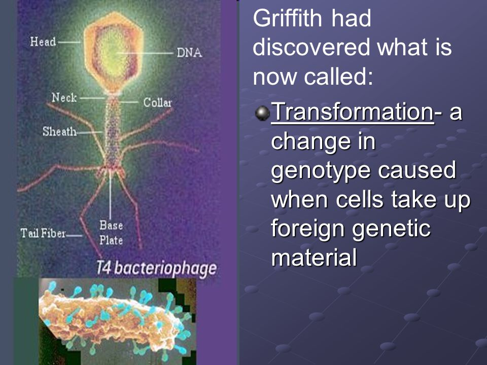 Griffith had discovered what is now called: Transformation- a change in genotype caused when cells take up foreign genetic material
