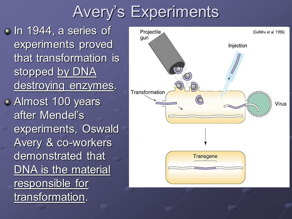Avery's Experiments In 1944, a series of experiments proved that transformation is stopped by DNA destroying enzymes.