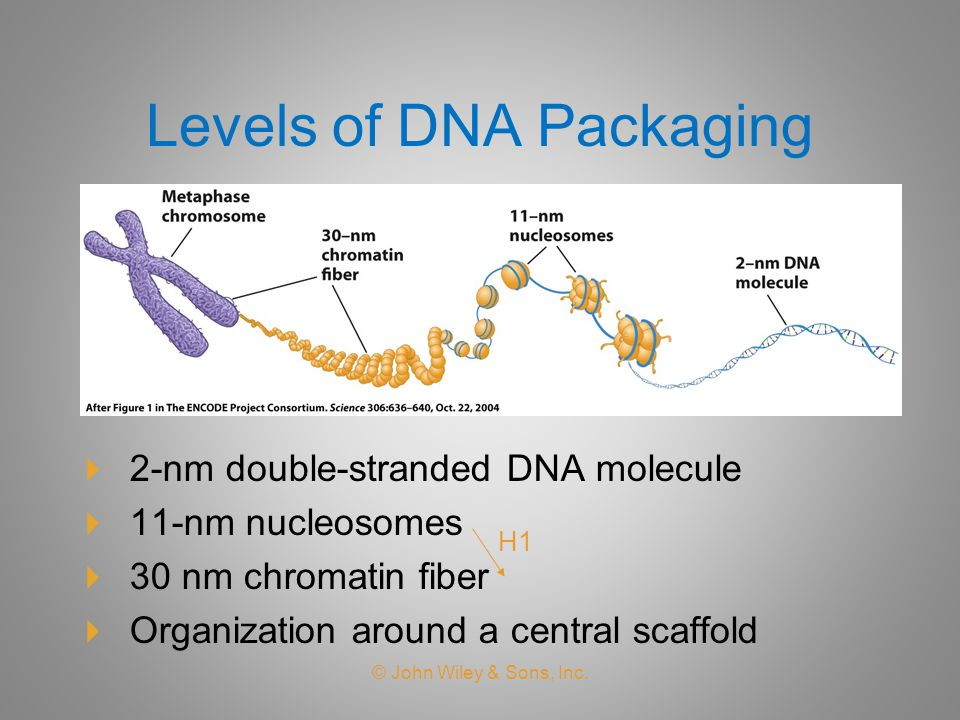 Levels of DNA Packaging  2-nm double-stranded DNA molecule  11-nm nucleosomes  30 nm chromatin fiber  Organization around a central scaffold © John Wiley & Sons, Inc.