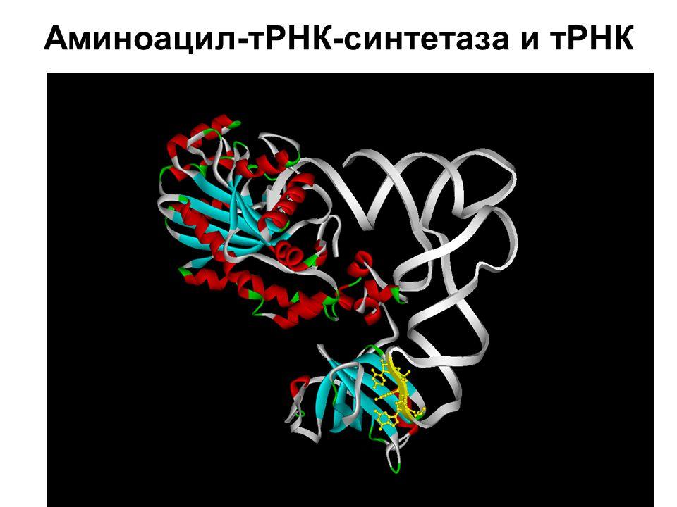 Аминоацил-тРНК-синтетаза и тРНК
