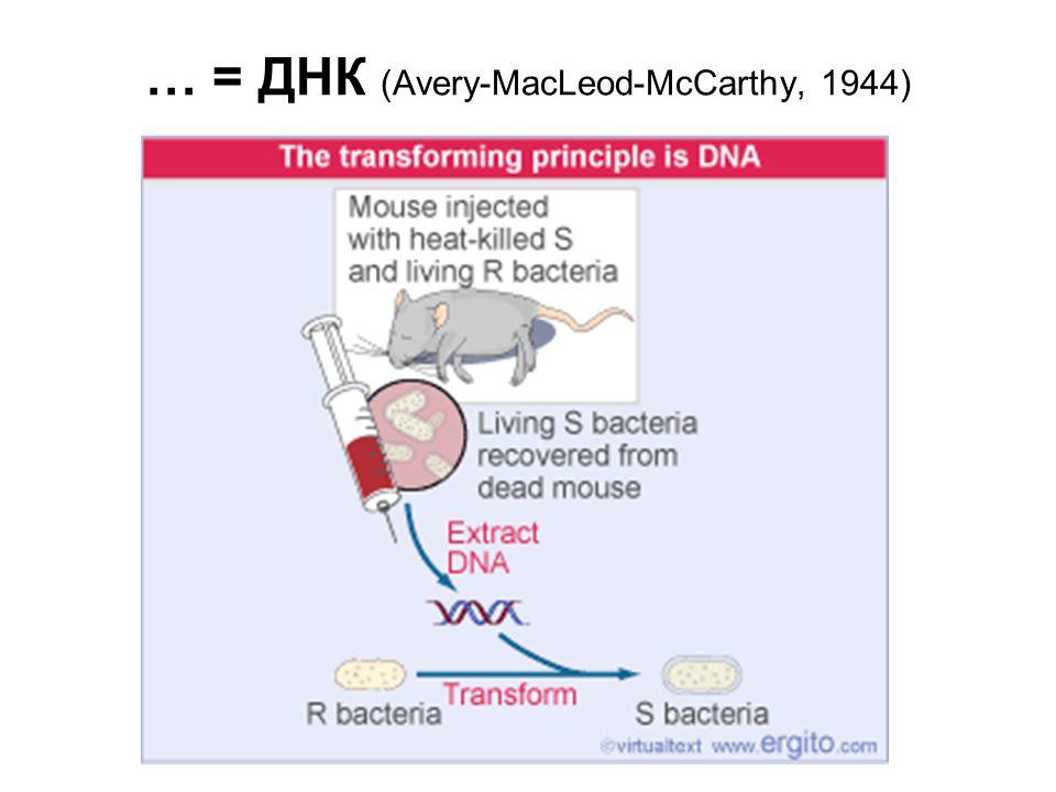 ДНК – носитель генетической информации фагов (Херши-Чейз, 1948)