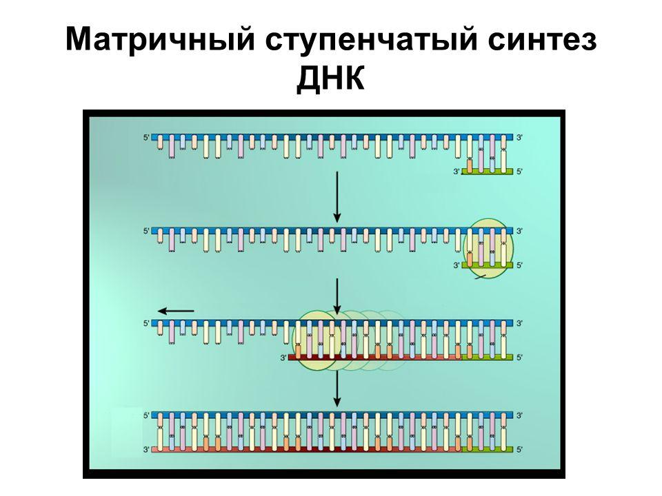 Матричный ступенчатый синтез ДНК