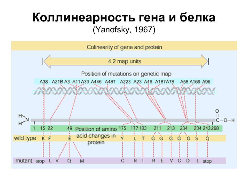 Цикл элонгации трансляции