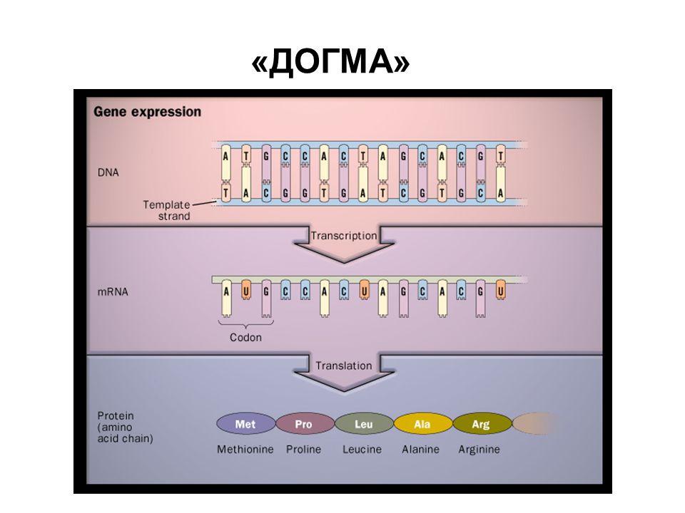 Репликация ДНК (Мезельсон-Сталь, 1958)