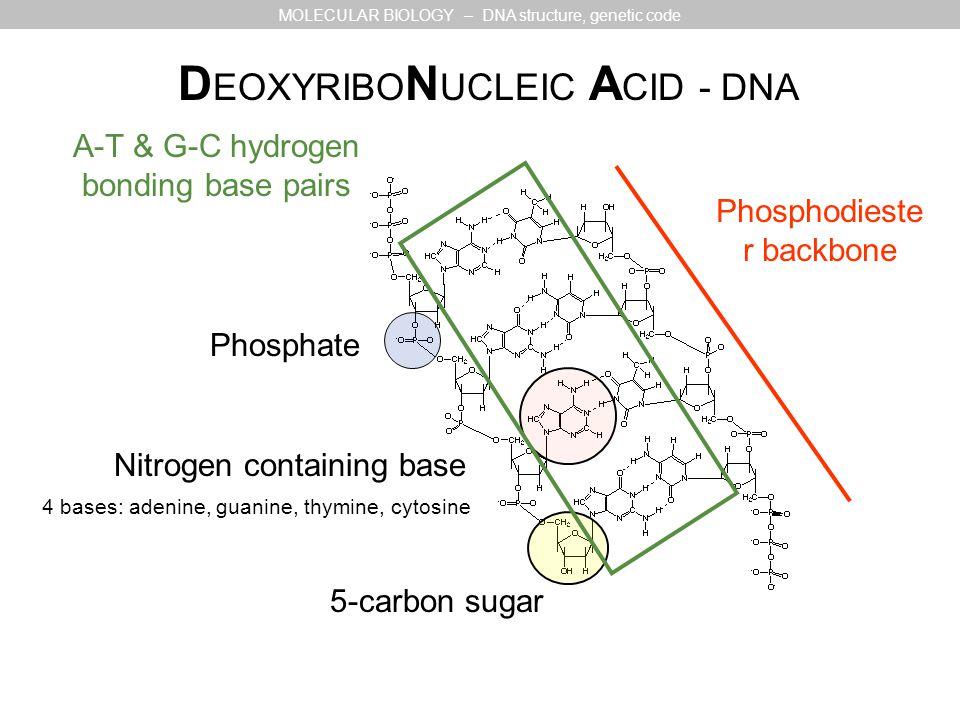 5-carbon sugar Nitrogen containing base Phosphate 4 bases: adenine, guanine, thymine, cytosine D EOXYRIBO N UCLEIC A CID - DNA MOLECULAR BIOLOGY – DNA structure, genetic code Phosphodieste r backbone A-T & G-C hydrogen bonding base pairs