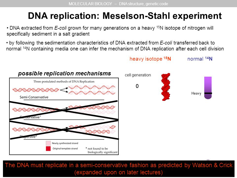 DNA replication: Meselson-Stahl experiment normal 14 N MOLECULAR BIOLOGY – DNA structure, genetic code DNA extracted from E-coli grown for many generations on a heavy 15 N isotope of nitrogen will specifically sediment in a salt gradient heavy isotope 15 N cell generation by following the sedimentation characteristics of DNA extracted from E-coli transferred back to normal 14 N containing media one can infer the mechanism of DNA replication after each cell division possible replication mechanisms The DNA must replicate in a semi-conservative fashion as predicted by Watson & Crick (expanded upon on later lectures)