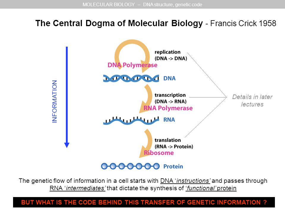 The Central Dogma of Molecular Biology - Francis Crick 1958 The genetic flow of information in a cell starts with DNA 'instructions' and passes through RNA 'intermediates' that dictate the synthesis of 'functional' protein INFORMATION Details in later lectures BUT WHAT IS THE CODE BEHIND THIS TRANSFER OF GENETIC INFORMATION