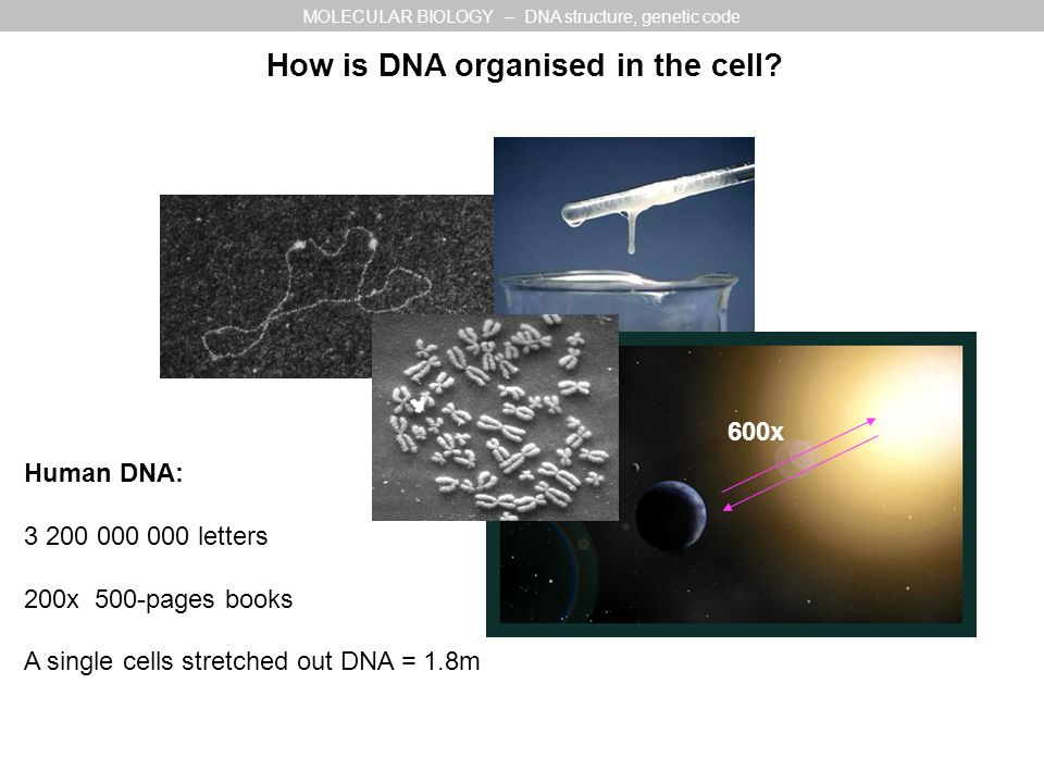 600x Human DNA: 3 200 000 000 letters 200x 500-pages books A single cells stretched out DNA = 1.8m MOLECULAR BIOLOGY – DNA structure, genetic code How is DNA organised in the cell
