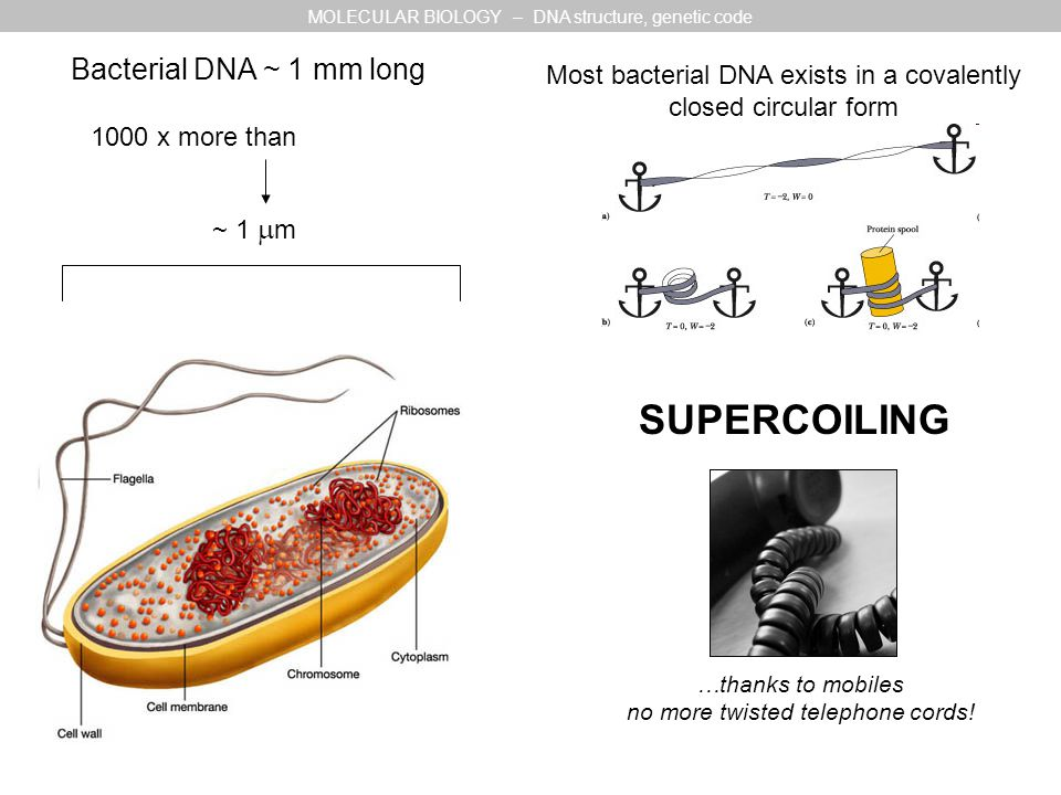 Bacterial DNA ~ 1 mm long ~ 1  m 1000 x more than …thanks to mobiles no more twisted telephone cords.