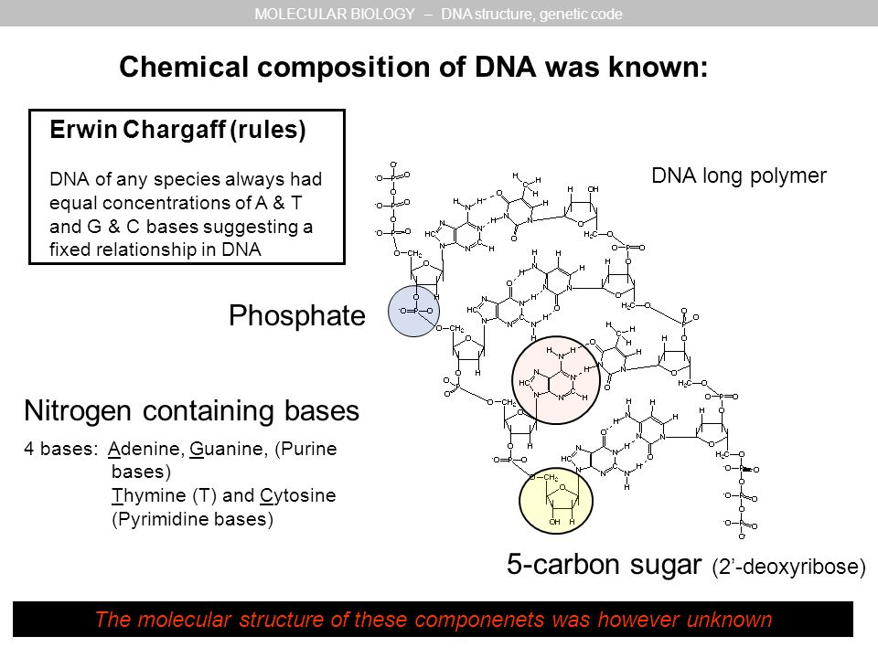 Chemical composition of DNA was known: 5-carbon sugar (2'-deoxyribose) Nitrogen containing bases Phosphate 4 bases: Adenine, Guanine, (Purine bases) Thymine (T) and Cytosine (Pyrimidine bases) DNA long polymer MOLECULAR BIOLOGY – DNA structure, genetic code Erwin Chargaff (rules) DNA of any species always had equal concentrations of A & T and G & C bases suggesting a fixed relationship in DNA The molecular structure of these componenets was however unknown