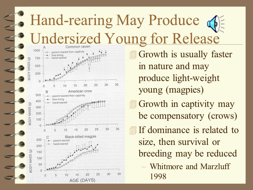 Hand-rearing May Produce Undersized Young for Release 4 Growth is usually faster in nature and may produce light-weight young (magpies) 4 Growth in captivity may be compensatory (crows) 4 If dominance is related to size, then survival or breeding may be reduced –Whitmore and Marzluff 1998