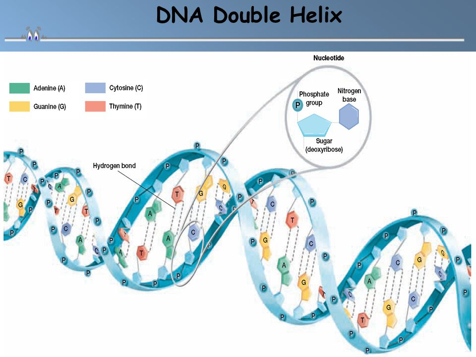 The five-carbon sugar in DNA nucleotides is called deoxyribose Structure of a Nucleotide