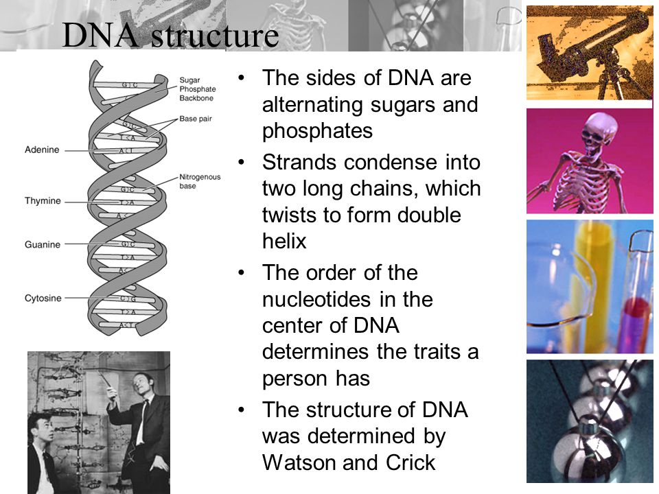 DNA structure The sides of DNA are alternating sugars and phosphates Strands condense into two long chains, which twists to form double helix The order of the nucleotides in the center of DNA determines the traits a person has The structure of DNA was determined by Watson and Crick