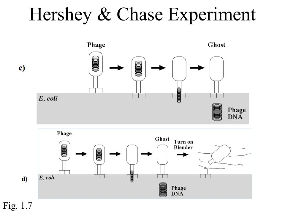 Hershey & Chase Experiment Fig. 1.7