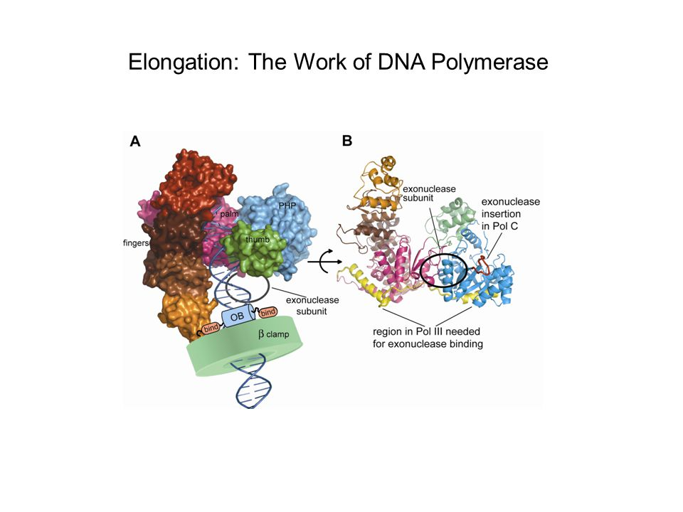 Elongation: The Work of DNA Polymerase