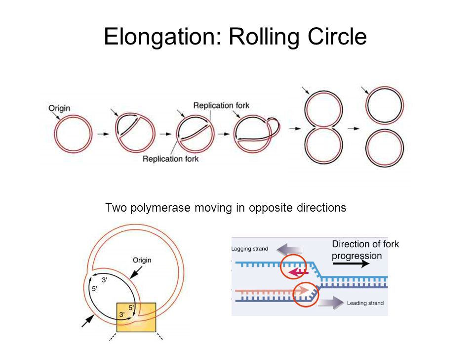 Elongation: Rolling Circle Two polymerase moving in opposite directions