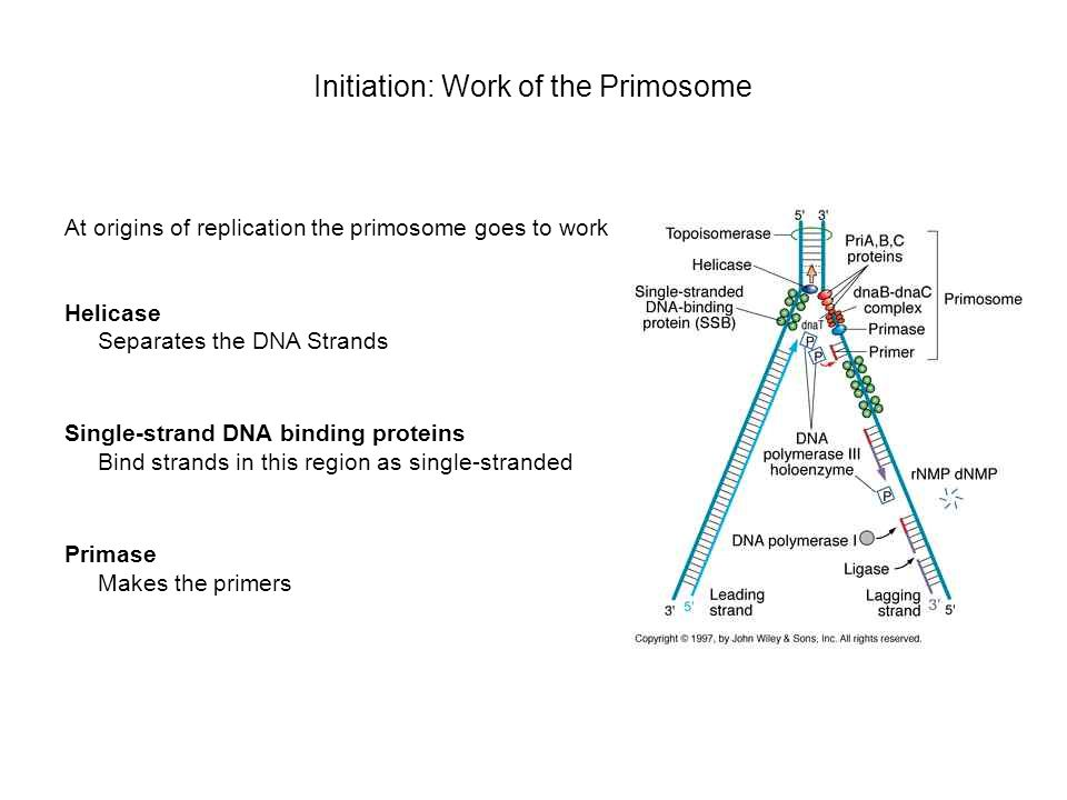 Initiation: Work of the Primosome At origins of replication the primosome goes to work Helicase Separates the DNA Strands Single-strand DNA binding pr
