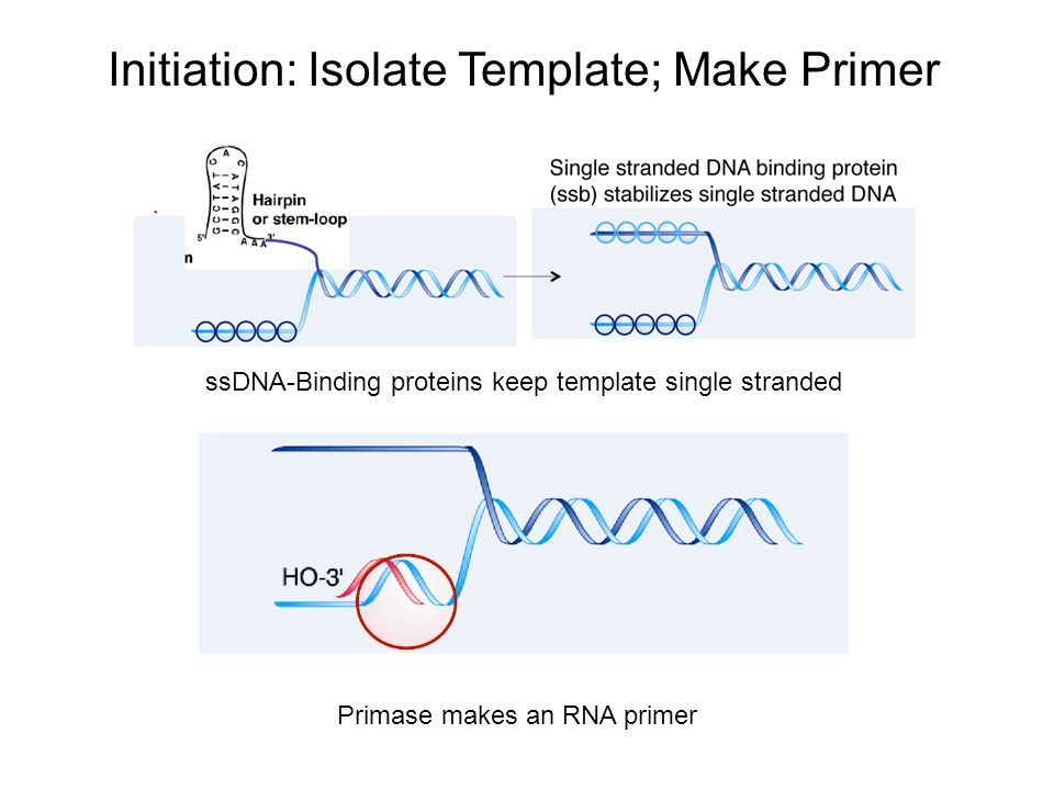 Initiation: Isolate Template; Make Primer ssDNA-Binding proteins keep template single stranded Primase makes an RNA primer