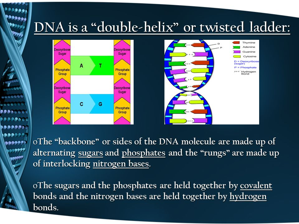 "DNA is a ""double-helix"" or twisted ladder: o The ""backbone"" or sides of the DNA molecule are made up of alternating sugars and phosphates and the ""run"