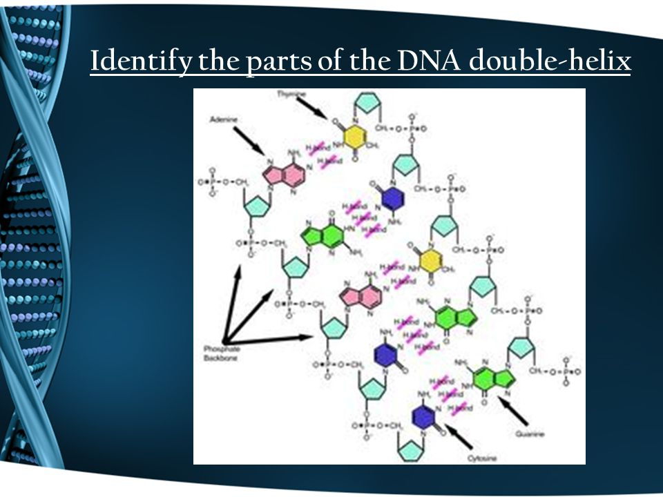 Identify the parts of the DNA double-helix