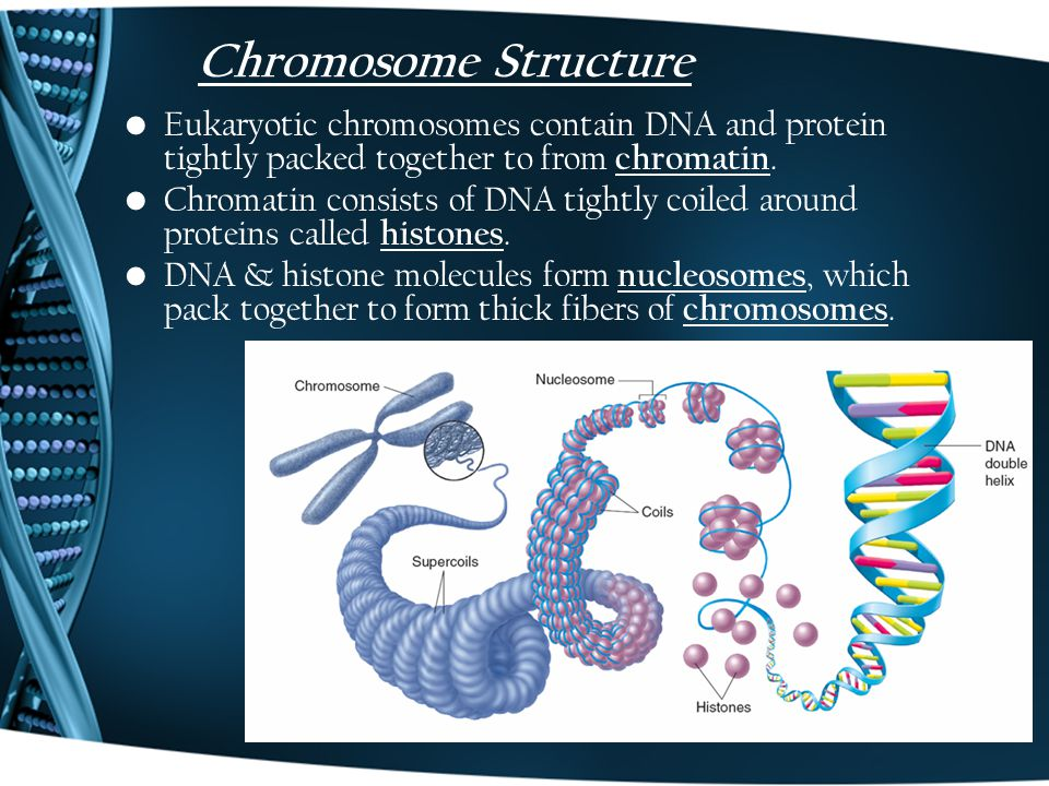 Chromosome Structure Eukaryotic chromosomes contain DNA and protein tightly packed together to from chromatin.