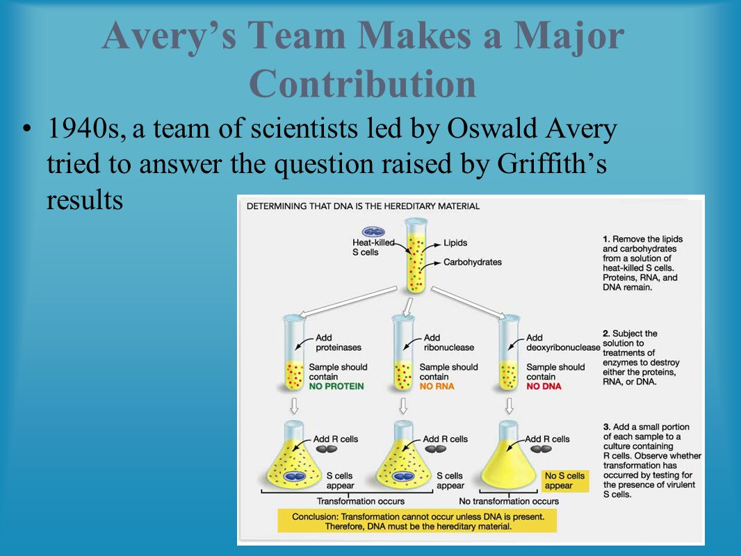 Avery's Team Makes a Major Contribution 1940s, a team of scientists led by Oswald Avery tried to answer the question raised by Griffith's results