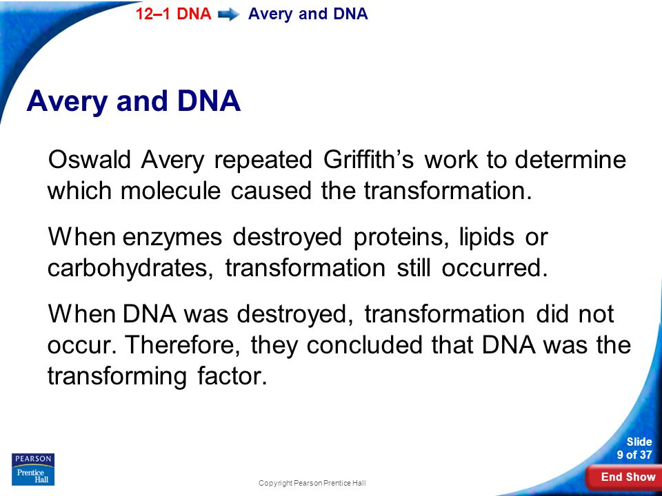End Show 12–1 DNA Slide 9 of 37 Copyright Pearson Prentice Hall Avery and DNA Oswald Avery repeated Griffith's work to determine which molecule caused the transformation.