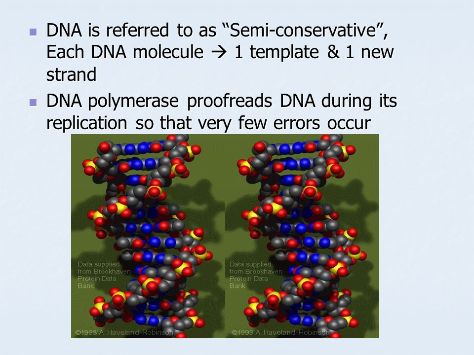 DNA is referred to as Semi-conservative , Each DNA molecule  1 template & 1 new strand DNA is referred to as Semi-conservative , Each DNA molecule  1 template & 1 new strand DNA polymerase proofreads DNA during its replication so that very few errors occur DNA polymerase proofreads DNA during its replication so that very few errors occur