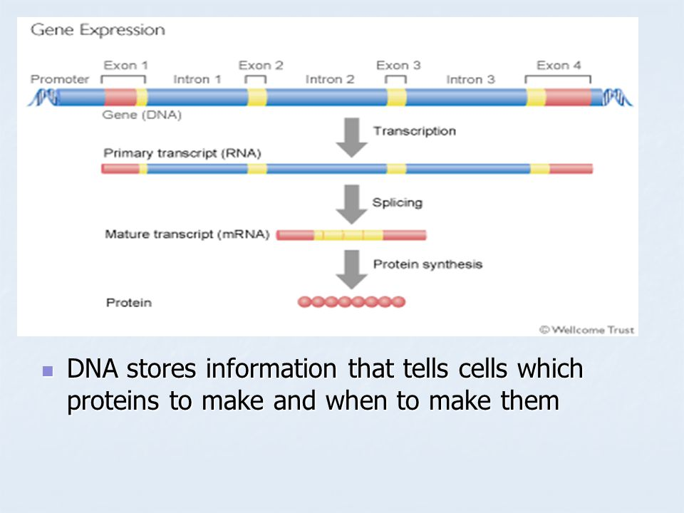 DNA stores information that tells cells which proteins to make and when to make them DNA stores information that tells cells which proteins to make and when to make them