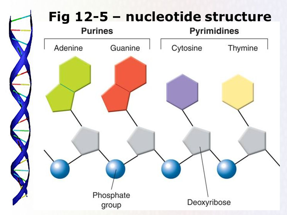 14 Fig 12-5 – nucleotide structure