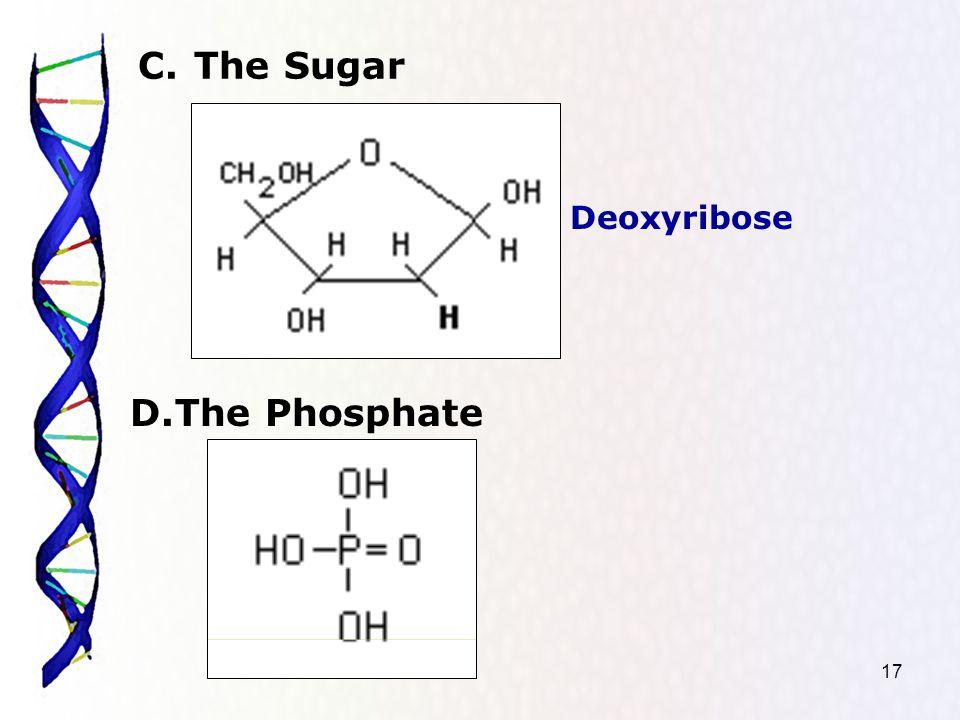 17 C.The Sugar D.The Phosphate Deoxyribose