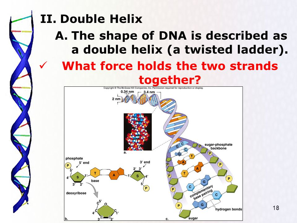 18 II.Double Helix A.The shape of DNA is described as a double helix (a twisted ladder).