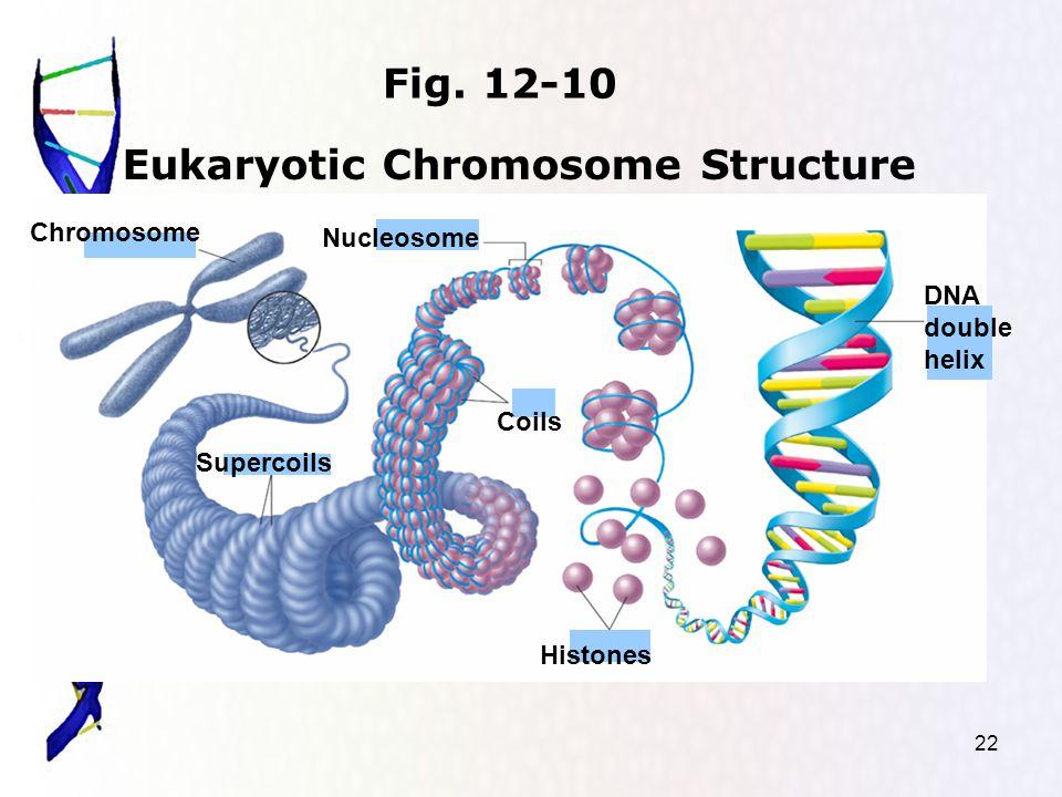 22 Eukaryotic Chromosome Structure Chromosome Supercoils Nucleosome DNA double helix Histones Coils Fig.