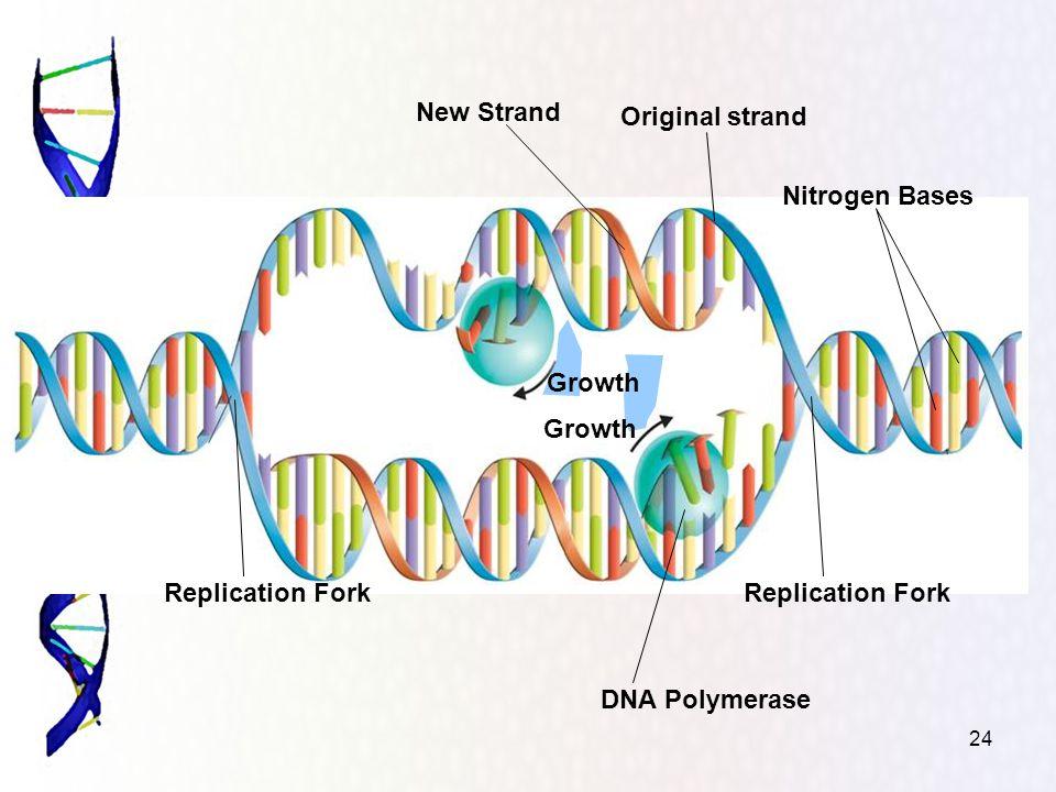 24 Nitrogen Bases Replication Fork DNA Polymerase Replication Fork Original strand New Strand Growth