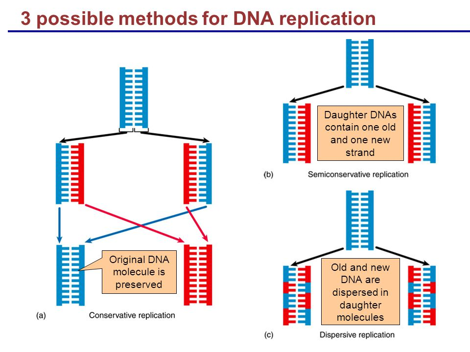 Original DNA molecule is preserved Daughter DNAs contain one old and one new strand Old and new DNA are dispersed in daughter molecules 3 possible methods for DNA replication