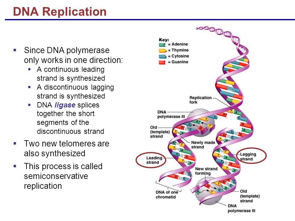 DNA Replication  Since DNA polymerase only works in one direction:  A continuous leading strand is synthesized  A discontinuous lagging strand is synthesized  DNA ligase splices together the short segments of the discontinuous strand  Two new telomeres are also synthesized  This process is called semiconservative replication